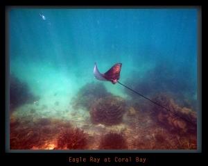 Eagle Ray at Coral Bay