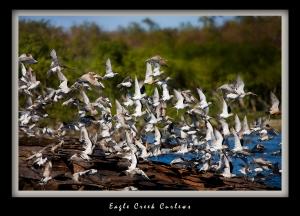 Eagle -Creek Curlews
